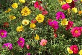 Portulaca o Flor de un día («Portulaca grandiflora»)