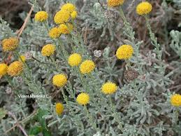 "Santonina (""Santolina chamaecyparissus"") 5"
