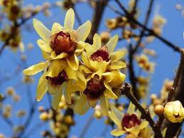"""Calicanto del Japón (""""Chimonanthus fragans"""") 1"""