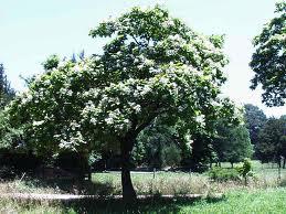 """Catalpa americana, árbol Indio (""""Catalpa bignonioides"""") 1"""