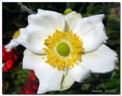 "Anémona japonesa (""Anemone japonica"") 1"
