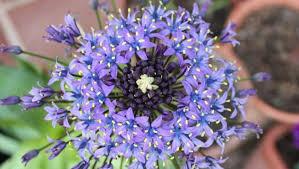 """Flor de la corona (""""Scilla peruviana"""") 1"""
