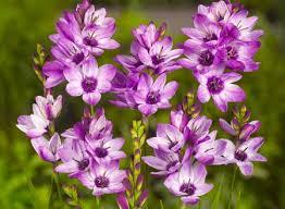 "Ixia: una planta muy llamativa (""Ixia spp."") 4"