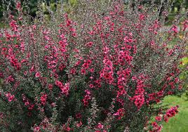 """Leptospermum (""""Leptospermum scoparium"""") 4"""