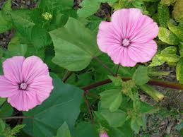 "Malva real, Malvarrosa (""Althaea rosea"") 4"