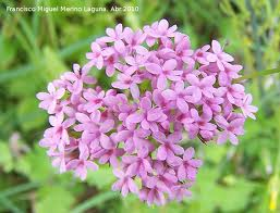 "Alfeñique andaluz (""Centranthus macrosiphon"") 3"