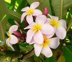 "Frangipani (""Plumeria rubra"") 3"