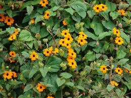 "Tunbergia, Ojo de poeta (""Thunbergia alata"") 1"