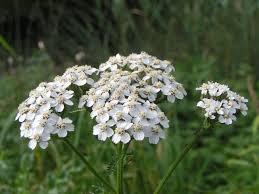 Plantas medicinales - La Milhojas  4