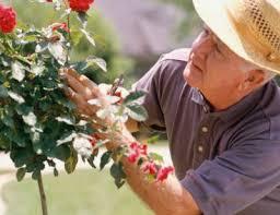 Mantenimiento y cuidado de las rosas