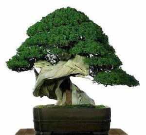 Galería de fotos de bonsáis 5