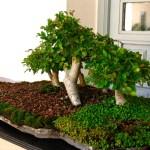 Galería de fotos de bonsáis 8