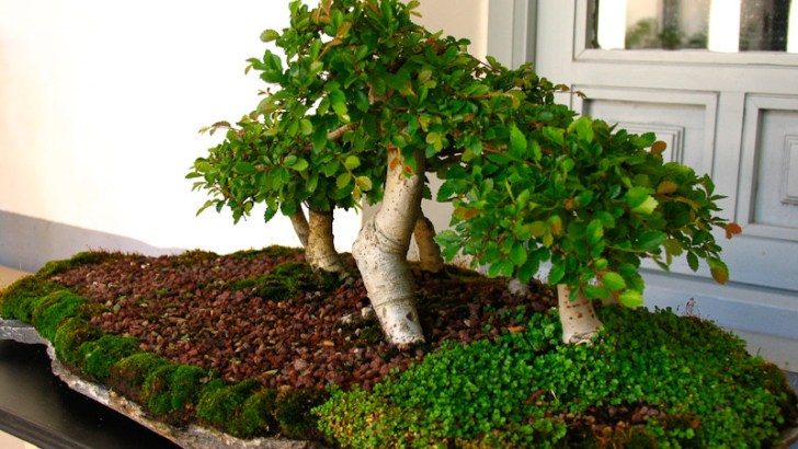 Podar bonsais en verano