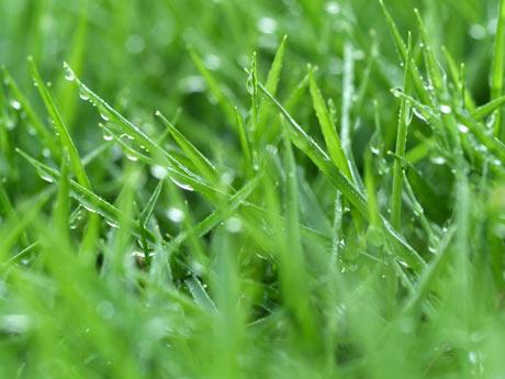 Tipos de hierba c sped parte i - Tipos de cesped ...