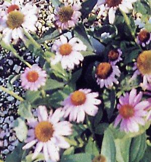 Plantas contra resfriados