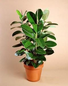 Un gen, posible responsable de los tréboles de 4 hojas 1