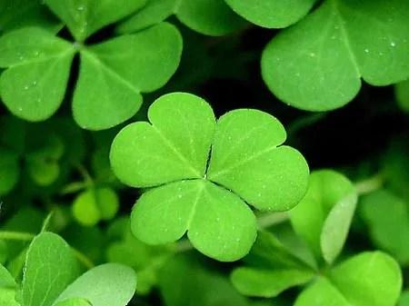 Un gen, posible responsable de los tréboles de 4 hojas