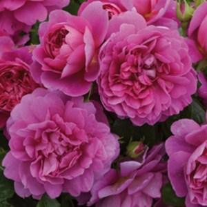 Rosas de David Austín: Princesa Anne
