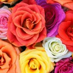 Wallpapers de rosas 5