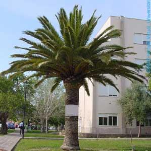 Cuidados de las palmeras