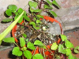 Eliminar la cal del jardín y plantas
