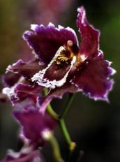 Un orquídea de casi 3 metros de altura