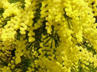 Insecticida para plantas con mimosa