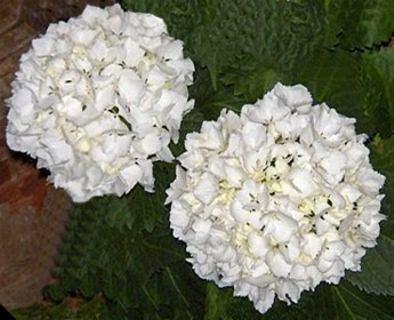 Anabelle, una bola blanca de planta