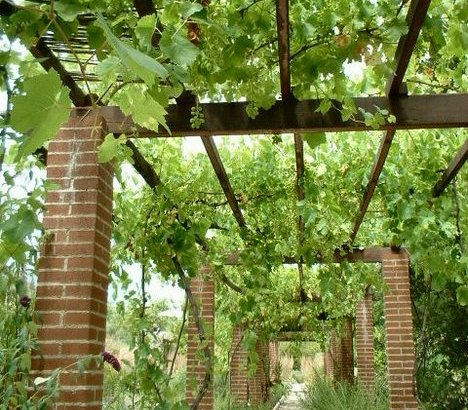 Cómo proteger las uvas de las parras