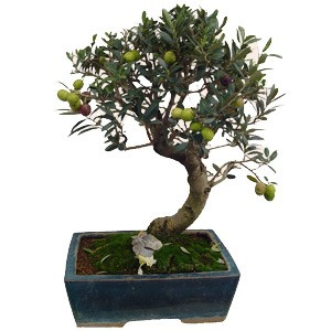 Comprar bonsai online
