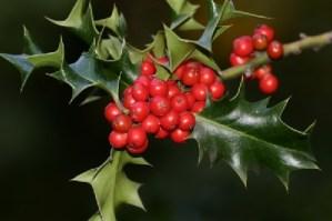 Plantas navideñas: Muérdago 2