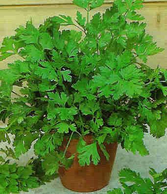 consejos básicos para plantar perejil - www.plantasyjardines.es