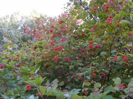 Arbustos de bayas para el invierno