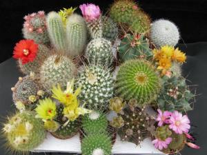 Plagas que afectan a los cactus