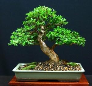 Estilos de bonsáis 3