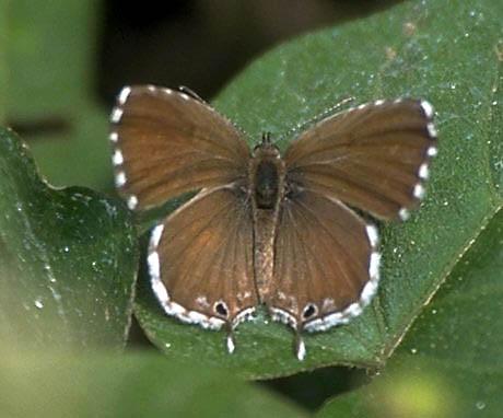 Mariposa del geranio