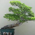 Estilos de bonsáis 4
