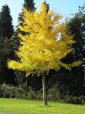 Un árbol anciano, el Ginkgo biloba