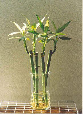Bambú de la suerte para decorar