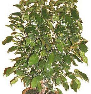 Ficus benjamina, otra planta de interior que deberías considerar