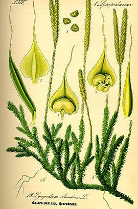 Licopodio – (Lycopodium clavatum)