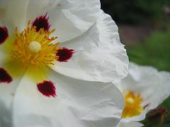 Jara (Cistus ladanifer L.)