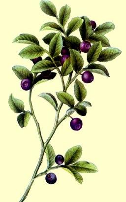 El Arándano Bush (Vaccinium myrtillus)