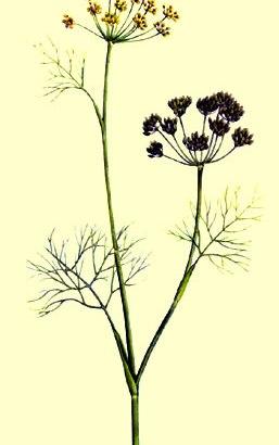 Hinojo – (Foeniculum vulgare)