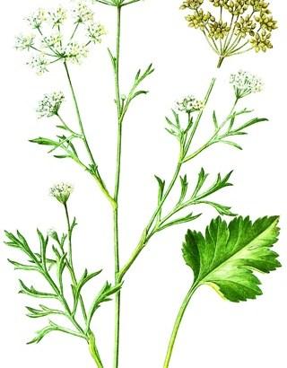 Anís (Pimpinella anisum)