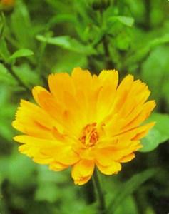 Caléndula - (Calendula officinalis)