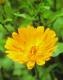 Caléndula – (Calendula officinalis)