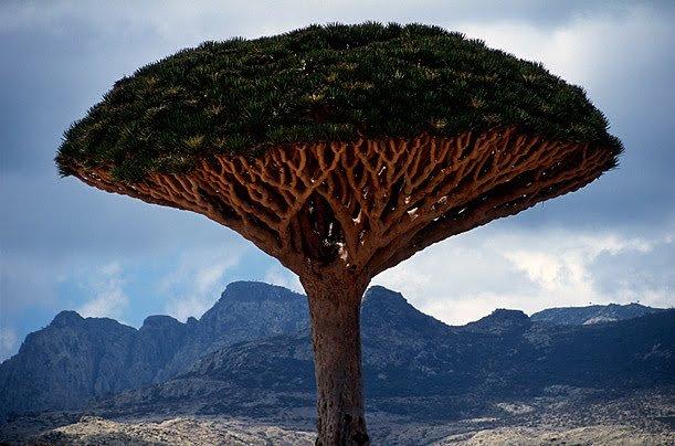 Drago, el árbol que sangra