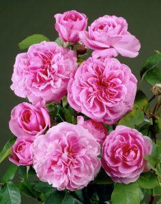 Rosa Centifolia 4
