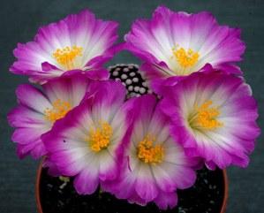 Mammillaria luethyi, un cactus maravilloso en peligro de extinción 3